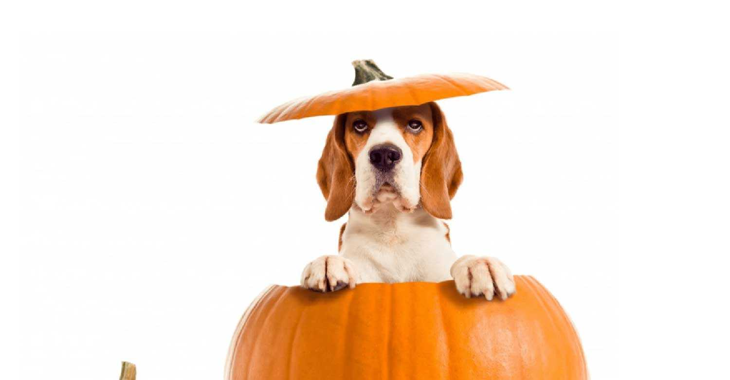 A dog sticking out of a pumpkin wishes happy Halloween from Centratel's Veterinary Answering Service